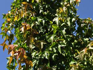 Acer Buergerianum Plantas Autóctonas Para Jardines Sostenibles En