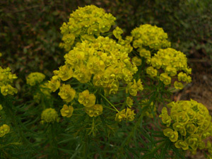Vivers Càrex - Euphorbia cyparissias