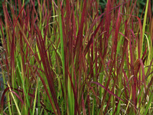 Vivers Càrex - Imperata cylindrica 'Red Baron'