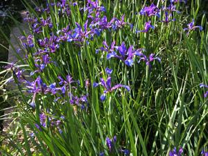 vivers crex iris spuria maritima